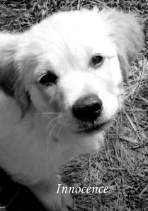 household dog oracle - innocence